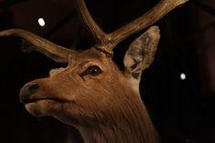 Schomburgk's Deer (Rucervus Schomburgki).  Schomburgk's deer antlers were believed to contain powers of magic and healing.  The last wild Schomburgk's deer was killed in 1932. The last domesticated one died in 1938.