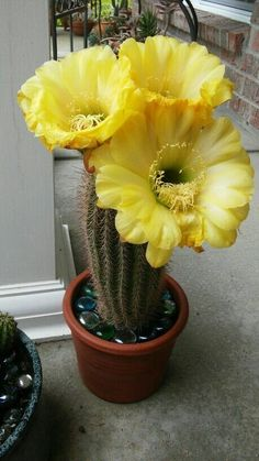 Hermoso!..... Cactus Suculentas Cactus Suculentas Sí quieres hacer florecer tus…