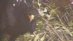 Emoyeni on her nest at the Black Eagle cam - May 15 2016 - Eagle Cam, Black Eagle, Eagles, Nest, Wildlife, Nature, Nest Box, Naturaleza, Eagle