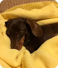 Maumelle, AR - Dachshund. Meet Doolittle - *** / 2015, a dog for adoption. http://www.adoptapet.com/pet/12319064-maumelle-arkansas-dachshund