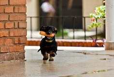 Wiener dog on the go!