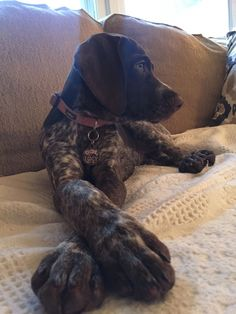 The German Shorthaired Pointer (GSP) was bred at the turn of the nineteenth century in Germany with the end goal of hunting. Gsp Puppies, Pointer Puppies, Pointer Dog, Cute Puppies, Cute Dogs, Best Dog Breeds, Best Dogs, German Shorthaired Pointer Black, Hunting Dogs