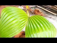 37 Best Bonsai Kelapa Images In 2020 Bonsai Plants Coconut