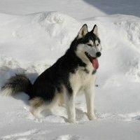 #dogalize Razze cani: il cane Husky carattere e prezzo #dogs #cats #pets
