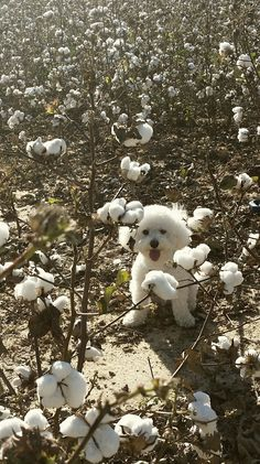 Animals And Pets, Baby Animals, Cute Animals, Dog Love, Puppy Love, Dog In Spanish, Bichon Dog, White Dogs, Cute Creatures