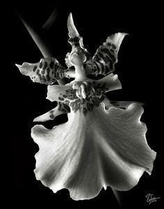 Oncidium in Black and White