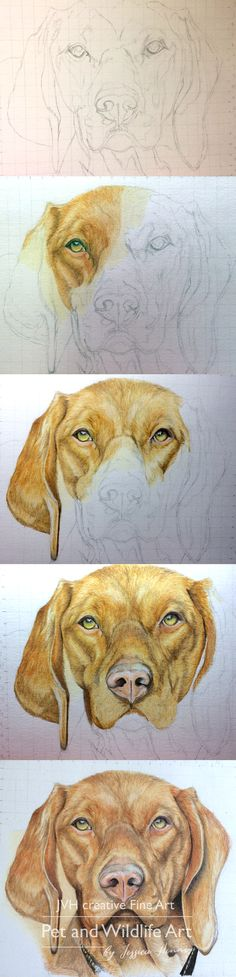 Pencil Drawing Tips Viszla dog portrait - coloured pencil, step by step strip by JVH creative Fine Art. Faber castell Polychromos, Pet and Wildlife Art - Animal Sketches, Animal Drawings, Pencil Drawings, Art Sketches, Art Drawings, Drawing Drawing, Drawing Tips, Drawing Ideas, Faber Castell