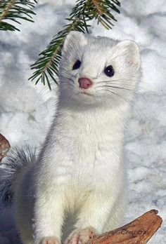 White mink...adorable!! (comment came with pin... I agree it's cute but they only look cute, they are bloodthirsty little critters... they are brown --some very dark brown-- in the summer and turn white in the winter... at least here in Maine they do!!)