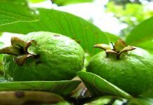 The phenomenal benefits and healing properties of the guava and its leaves are amazing. Guava is not only a delicious fruit, but also a source of possibilities for our beauty and health. Guava Leaf Tea, Guava Fruit, Guava Leaves, Guava Juice, Guava Benefits, Avocado Health Benefits, Health Remedies, Home Remedies, Chicken Soup For Colds