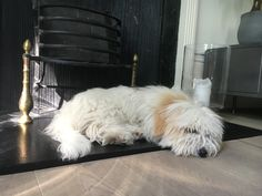 Newton a 4 month old Coton De Tulear Puppy who ran off after being attacked in Holland Park by a much larger dog. Recovered 17 days later in a council depot several miles away.