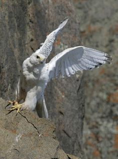 Gyrfalcon (photo from the PBS series Nature.  www.pbs.org/nature) loved this doc and want to go to ellesmere island...