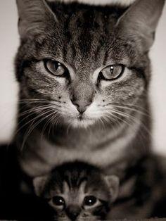 Kedilerde gebelik, ortalama 58-65 gün sürer.