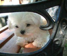 baby maltese …