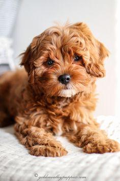 Cavapoo Breeders, Cavapoo Dogs, Cavapoo Puppies For Sale, Poodle Mix Puppies, Brown Puppies, Brown Dog, Havapoo Puppies, Maltipoo, Vinyls