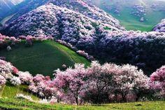 Цветет абрикос. Китай.