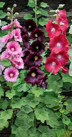 Hollyhocks - LOVE these flowers!