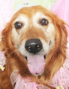 This is Lilly - 9 yrs. She was an owner surrender. She is spayed, current on vaccinations, potty trained. Barely Used Pets Inc. Urbana, OH - http://www.barelyusedpets.com/home-1.html - https://www.facebook.com/pages/Barely-Used-Pets-Rescue/565704933462573 - https://www.petfinder.com/petdetail/29850926/