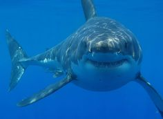 Great White! i think its so cool how they look like they are smileing