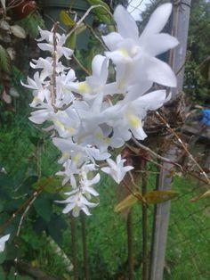 Orquideas blancas - pequeñitas