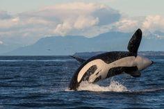 PHOTOS: Transient orcas seen frolicking off Saturna Island San Juan Islands, Killer Whales, Ocean Life, Orcas, Wildlife, Explore, Image, Georgia, Play