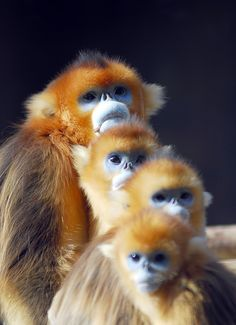 Golden monkey by floridapfe