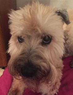 My sweet Abby turned 13 today! Cc my dog -loving friends: @HonkyTonkJew @LoLoGray6979 @cameron_gray