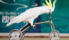 Parrots Riding Bikes Google Search Cockatoo Smart Animals Cute Animals Parrot Pet