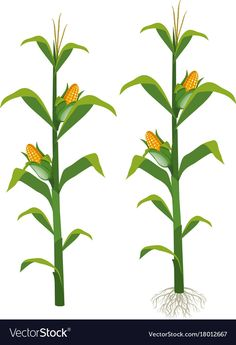 Corns on the corn trees Royalty Free Vector Image Tree Photoshop, Corn Stalks, Corn Plant, Garden Labels, Plant Images, Cartoon Sketches, Leaves Vector, Plant Drawing, Paintings