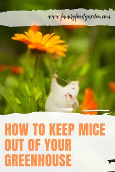 Having pests such as mice to your greenhouse is such a headache and it's no joke. We have listed different ways, ideas and suggestions on how to keep mice away from your greenhouse. Find the best way to solve your problem on this pin! #pestcontrol #micecontrol #keepmiceoutfromgreenhouse Container Gardening, Gardening Tips, Indoor Gardening, Flower Gardening, Vegetable Gardening, How To Deter Mice, Mice Repellent, Blog Food, Garden Inspiration