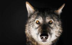 dec-jan-2017-inner-wolf-alpha-male-opener-US161205A-440x275.jpg (440×275)