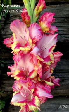 Gladiolus Flower, Rainbow Garden, Bulb Flowers, Flower Seeds, Summer Flowers, Watercolor Flowers, Flower Power, Beautiful Flowers, Cool Pictures
