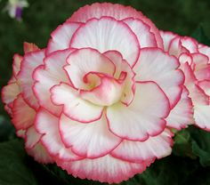 Begonia Cordelia Blackmore & Langdon, from White Flower Farms.  part to full shade, perfect for the front  planters.