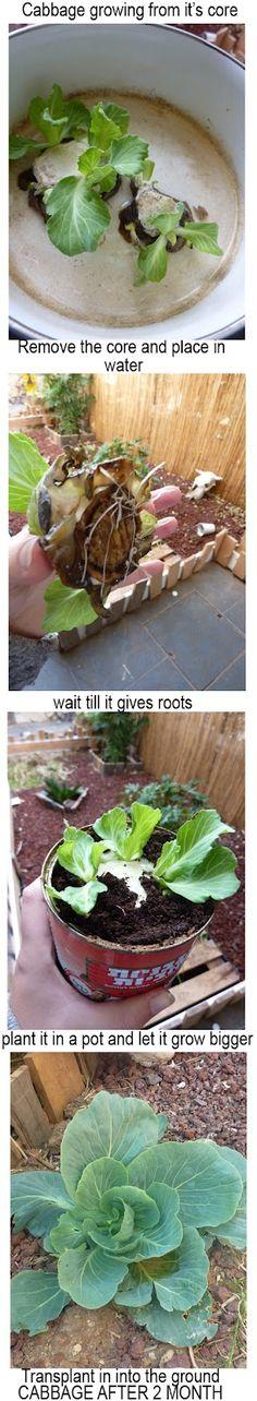 Cabbage growing from it's cut core  http://pettibearsfashionroar.blogspot.com/2012/05/in-my-garden.html