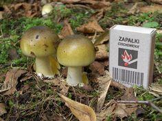 Amanita phalloides young - Amanita phalloides - Wikipedia, the free encyclopedia