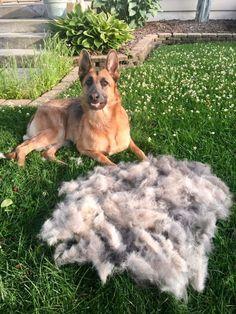 Every German Shepherd owner has seen this site.