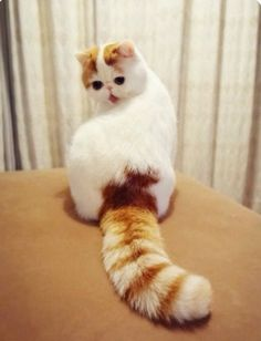 Meet Snoopy the Exotic Shorthair Cat Pics) I Love Cats, Crazy Cats, Cute Cats, Funny Cats, Funny Animals, Cute Animals, Funny Humor, Garfield, Exotic Shorthair