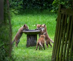 Fox cubs at the bird bath - Hazel Byatt - Kew Gardens Botanical Prints - Kew Botanical Prints