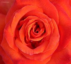 Red Rose  DDD    CopyrightⓒNAKIzm