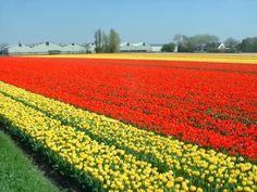dutch flowerfields: Typical Flower fields at Lisse, The Netherlands