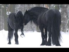 Friesian Horses Running   Friesian horses enjoy winter - horses, black, enjoy, snow, winter ...