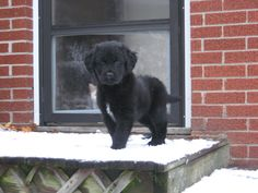 Black lab golden retriever puppy!
