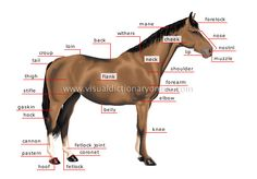 Horse Anatomy, external, internal, markings, skeletal, muscle, digestive, hooves etc.  - great info.