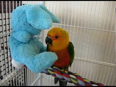 baby jenday conure with new friend