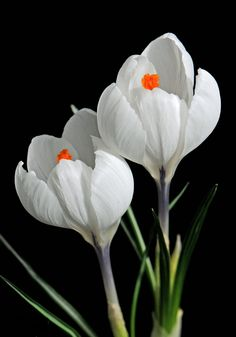 Beautiful Rose Flowers, Flowers Nature, Small Flowers, Cut Flowers, Amazing Flowers, Spring Flowers, Plant Decor, Daffodils, Flower Art
