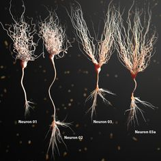 model of neuron anatomy - Bildung Brain Anatomy, Medical Anatomy, Human Anatomy And Physiology, Body Anatomy, Anatomy Art, Types Of Neurons, Nervous System Anatomy, Brain Neurons, Brain Art