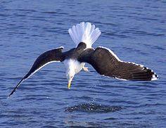 "Great Black-Backed Gull ""Droimneach Mór"" Sutton Cross, Ireland 2013"