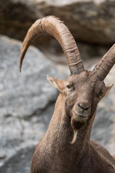 Höchstgelegener  Zoo Europas - Alpenzoo Innsbruck :: Bustiger