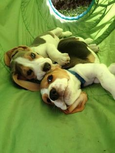 Are you interested in a Beagle? Well, the Beagle is one of the few popular dogs that will adapt much faster to any home. Whether you have a large family, p Cute Beagles, Cute Puppies, Dogs And Puppies, Art Beagle, Beagle Puppy, Most Popular Dog Breeds, Best Dog Breeds, Pet Breeds, Pet Dogs