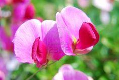 sweet pea flower - sweet filler