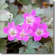 Staudenfoto zu Geranium cultorum 'Tanya Rendall ®' (Zwerg-Garten-Storchschnabel)